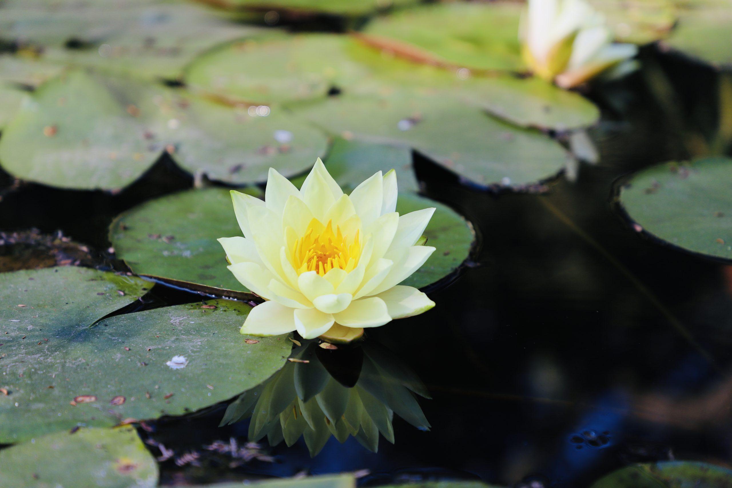 Pond Lilly